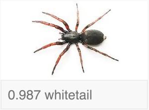 Whitetail Spider